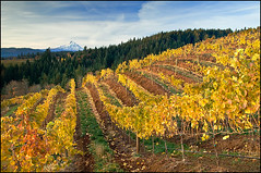 GV0711087 (Greg Vaughn) Tags: travel autumn usa west oregon america landscape us vines fallcolor scenic winery american mthood grapes western pacificnorthwest agriculture northwestern mounthood hoodriver winecountry columbiarivergorge wineries hoodrivervalley gregvaughn phelpscreekvineyards gv0711087