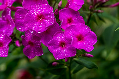 DSC02243 (elally79) Tags: pink flowers color green wet water grass point purple wate focal a6000