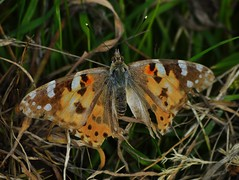 Painted Lady (howell.davies) Tags: uk color colour wales lady butterfly insect landscape nikon painted wing bbc damaged paintedlady hendy d3200 55200vr bbcwalesnaturelandscape
