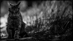 Hell's cat (Pilouchy) Tags: wild monochrome animal cat chat noir bokeh dream free extrieur blanc chemin reve calme hells felin enfer