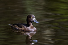 3H8A6907 (shay connolly) Tags: male duck tufted