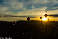 Chives at sunset (Thor Edvardsen) Tags: sunset flower oslo norway night clouds canon evening chive canon70200f28lll