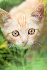 Sam's eyes (Maria Dattola) Tags: orange macro green nature animal vertical closeup cat daylight eyes kitten bokeh wildlife details nopeople fromabove copyspace brightness domesticcat freshness elevatedview mariadattola cosmeaplant thejunglecat