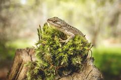Great Basin Fence Lizard (Sceloporus occidentalis longipes) (Gavin Beck) Tags: macro green nature canon utah flora reptile wildlife naturallight lizard mojavedesert naturephotography extensiontube lseries llens canon5diii