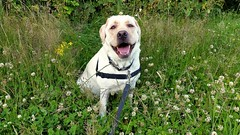 Gracie sitting happily (walneylad) Tags: summer dog pet cute june puppy gracie lab labrador canine labradorretriever