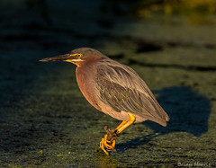 Green Heron (b88harris) Tags: park light sunlight lake green heron nature dawn golden pond nikon exposure pennsylvania 300mm nikkor wildwood harrisburg specanimal d7200