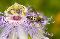 Inside a Pasion Flower (Serie). Pollen taking off. (Samuel Santiago) Tags: canon40d tamron3580mmspcfadaptall macro pasionflower passifloraincarnata lightroomcc bee pollinate pollen stigma ovary stamens