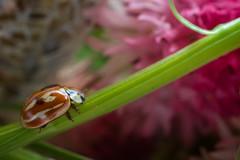 Coccinella tra i fiori di Negritella (XXAquarius) Tags: fiore negritella flower coccinella natura cugn di goria macro nature montagna mountain ali farfalla