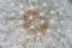 Fireworks (shutterbusterbob) Tags: white abstract closeup canon weed sigma canoneos rebelxti
