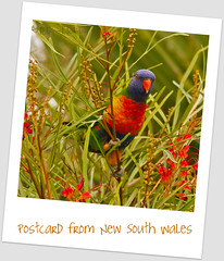 Postcard from New South Wales (loobyloo55) Tags: blue trees red orange green bird nature birds yellow australia nsw newsouthwales rainbowlorikeet grevillea australianwildlife trichoglossushaematodus