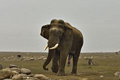 AS_000002017 (dickysingh) Tags: wild india elephant male nature animal horizontal closeup forest head anger jungle heat angry trunk mating aggression aggressive stud asianelephant tusk noman tusker corbettnationalpark musth wwwranthambhorecom
