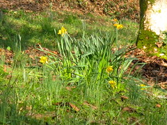 Walk @ Cotehele/9 (Joanpix) Tags: england cornwall nationaltrust daffodils cotehele tamarvalley aonb