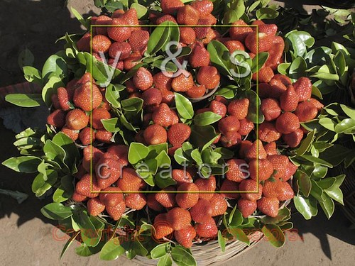 Strawberry fruits, Fragaria x ananassa are arranged for selling in a basket, Mahabaleshwar, Satara, Maharasthra, India