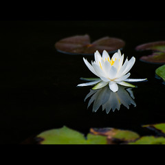 (Masahiro Makino) Tags: white plant flower reflection japan photoshop kyoto waterlily olympus adobe   70300mm lightroom  f456 zuikodigital e410 20080730103134e410ls640p