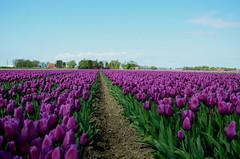 Flowers from Holland (JaapCom) Tags: camera flowers flower holland netherlands foto fotografie tulips natural digitale natuur flowering van noordoostpolder polder bloemen jaap tulpen bloem tulp creil jaargetijden wezep bloeien bloembollenvelden werven tulpenroute d5100 jaapcom