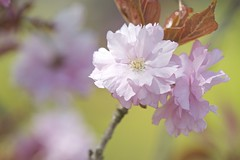 double cherry blossom (peaceful-jp-scenery) Tags: flower sony   tamron  amount   a001  dslra900 900  spaf70200mmf28di