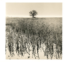 Tree in marshes (ops-ups) Tags: print 123 lith iv variant foma
