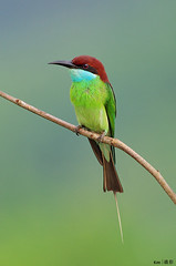 (Explored) Blue Throated Bee-Eater (kengoh8888) Tags: blue wild portrait pose shot pentax expression background sigma bee clean thinking perch colourful avian eater throated colourfulbird 500f45 creamygreen k5iis