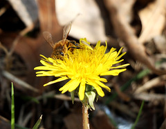 Bee collecting pollen (djlumberjack86) Tags: flower macro nature spring dandelion bee nectar pollinate pollin