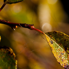 autumn3 (ARTDESIGN4YOU) Tags: autumn herbst cobweb raindrop regentropfen spinnengewebe