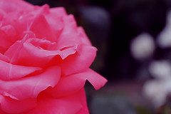 Rosa (Juds.) Tags: pink flower texture textura primavera nature rose petals spring amazing colours flor rosa things colores desenfoque espinas ptalos