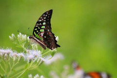 Kupu Hijau (Graphium agamemnon ~ Tailed Jay Butterfly) (anwarsiak***sibuk***) Tags: bestofblinkwinners blinksuperstars rememberthatmomentlevel1 vigilantphotographersunite vpu2 vpu3 vpu4 vpu5 vpu6 vpu7 vpu8 vpu9