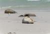Australie - Kangaroo Island - Sieste sur la plage - 2 (jf garbez) Tags: voyage travel sea mer bird beach nature animal animals nikon wildlife seagull australia nikkor 70300mm animaux southaustralia plage oiseau kangarooisland mouette nationalgeographic australie otarie oceania faune sealbay d600 australiansealion océanie nikond600 neophocacinerea australieméridionale nikonpassion nikonflickraward mygearandme mygearandmepremium nikkor7003000mmf4556 liondemeraustralien îlekangourou