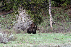 Grizzly - Grand Teton National Park (Ernie Orr) Tags: bear wildlife grizzly teton tetons grandtetonnationalpark