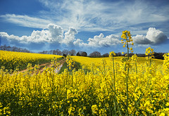 spring landscape (Edimur) Tags: road blue sky panorama cloud sun plant flower tree primavera nature floral field yellow alberi clouds rural landscape countryside spring flora nuvole view blossom outdoor sunny natura clear campagna cielo land bloom fiori sole terra sentiero piante cloudscape paesaggio roadway blooming campi agricoltura carriageway rurale fioritura soleggiato floreale gialloagriculture