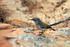 some type of desert wren in Zion (houstonryan) Tags: park cactus bird birds print photography utah sandstone photographer desert ryan may houston southern trail national photograph 24 zion wren redrock overlook avian 2013 houstonryan