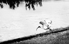 Jump! (judith511) Tags: lake jump ibis launch embankment ourdailychallenge