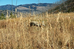 166 - Coyote (Scott Shetrone) Tags: coyote animals events places yellowstonenationalpark mammals 7th anniversaries wymoing