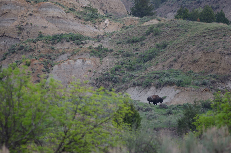 A buffalo in the north unit of Theodore Roosevelt National Park.