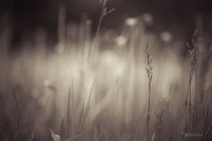 Where the Long Grass Blows (Thousand Word Images by Dustin Abbott) Tags: ontario canada green beautiful grass sepia pembroke spring bokeh fineart atmosphere compression handheld dreamy fullframe delicate earthtones petawawa selectivefocus narrowdepthoffield closeupview canoneos6d canonef70300mmf456lis thousandwordimages adobelightroom4 dustinabbott dustinabbottnet