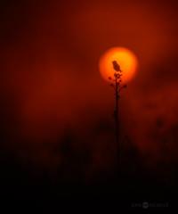Song For The Sun (Joni Niemel) Tags: sunset red summer orange sun bird silhouette yellow warm pentax northern wheatear da300mm pentaxk5