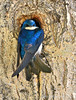 Tree Swallow (Amy Hudechek Photography) Tags: tree bird nest wyoming swallow treeswallow pinedale happyphotographer amyhudechek
