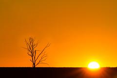 Country Sunrise (Tristan Jud) Tags: tree sunrise golden hour westernaustralia goldenhour lonetree koorda