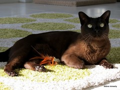merlin (damselfly58) Tags: cat ginger furry kitten katten feline funny chat siamese gatos burmese gatti gingerwhite