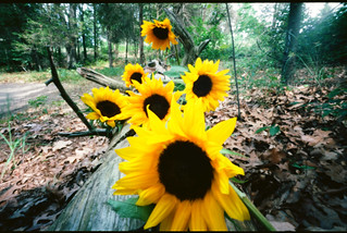 pinhole flowers of the sun