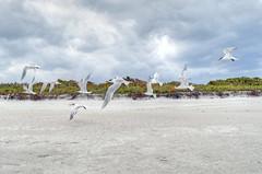 DSC_8859_tonemapped+ (TheReilDeal) Tags: ocean seagulls beach birds sand florida melbourne