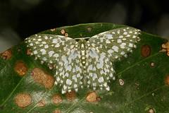 Geometrid Moth (Berta chrysolineata, Geometrinae) (John Horstman (itchydogimages, SINOBUG)) Tags: insect macro china yunnan itchydogimages sinobug moth lepidoptera geometridae green tumblr fbm geometrinae entomology