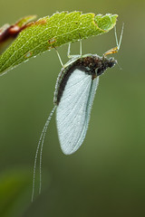 Mayfly (johnhallmen) Tags: macro insect naturallight mayfly ephemeroptera canonmpe65 canon5dmkii zerenestacker