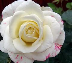 . . . my lovely rose! (Gartenzauber) Tags: macro nature rose garden withe sony natur garten doublefantasy floralfantasy thegalaxy masterphotos unforgettableflowers lovelynewflickr bat´slair