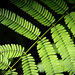 "Epiphytic Fern • <a style=""font-size:0.8em;"" href=""http://www.flickr.com/photos/101688182@N03/9834524695/"" target=""_blank"">View on Flickr</a>"