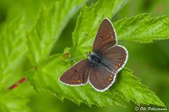 Aricia artaxerxes (Olli_Pihlajamaa) Tags: finland lepidoptera fi eläimet lycaenidae ahvenanmaa hyönteiset maarianhamina perhoset ariciaartaxerxes selkärangattomat lehtosinisiipi sinisiipiset päiväperhosmaiset suurperhoset