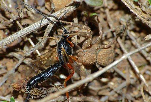 Ichneumonid Wasp (Ephialtes sp.) caught by Crab Spider (Xysticus sp.)