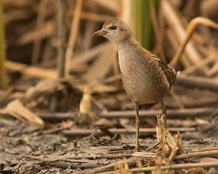 Little Crake [a glimpse only]
