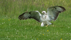 White Buzzard (leucistic) (4 more in comments below) (KHR Images) Tags: wild white bird nature wales nikon wildlife 300mm raptor buzzard f4 buteobuteo birdofprey rhayader commonbuzzard leucistic gigrinfarm d7100 bbcwalesnature kevinrobson khrimages