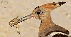 (mohd alsulaiti) Tags: bird birds canon photography google zoom 7d guest  fotografica mohd 800mm    fotografisch      hodhod photographique  2013 abigfave    fotografisk fotografiske   alsulaiti      ilgili fotorafla fotografski