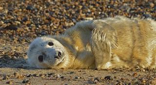 Atlantic Grey Seal Pup.....Nature at it's most beautiful.